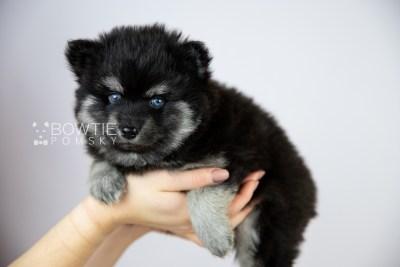 puppy114 week5 BowTiePomsky.com Bowtie Pomsky Puppy For Sale Husky Pomeranian Mini Dog Spokane WA Breeder Blue Eyes Pomskies Celebrity Puppy web1