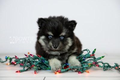 puppy114 week5 BowTiePomsky.com Bowtie Pomsky Puppy For Sale Husky Pomeranian Mini Dog Spokane WA Breeder Blue Eyes Pomskies Celebrity Puppy web2