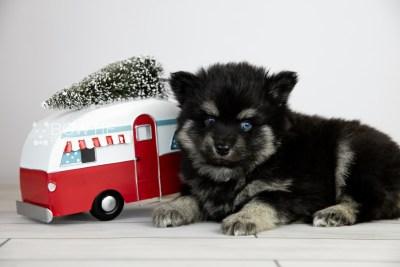 puppy114 week5 BowTiePomsky.com Bowtie Pomsky Puppy For Sale Husky Pomeranian Mini Dog Spokane WA Breeder Blue Eyes Pomskies Celebrity Puppy web5