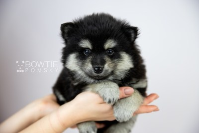 puppy116 week5 BowTiePomsky.com Bowtie Pomsky Puppy For Sale Husky Pomeranian Mini Dog Spokane WA Breeder Blue Eyes Pomskies Celebrity Puppy web1