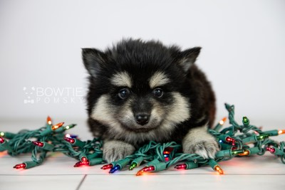 puppy116 week5 BowTiePomsky.com Bowtie Pomsky Puppy For Sale Husky Pomeranian Mini Dog Spokane WA Breeder Blue Eyes Pomskies Celebrity Puppy web2