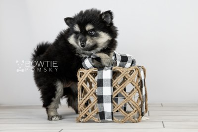 puppy116 week5 BowTiePomsky.com Bowtie Pomsky Puppy For Sale Husky Pomeranian Mini Dog Spokane WA Breeder Blue Eyes Pomskies Celebrity Puppy web6