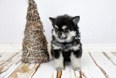 puppy116 week7 BowTiePomsky.com Bowtie Pomsky Puppy For Sale Husky Pomeranian Mini Dog Spokane WA Breeder Blue Eyes Pomskies Celebrity Puppy web2