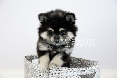 puppy116 week7 BowTiePomsky.com Bowtie Pomsky Puppy For Sale Husky Pomeranian Mini Dog Spokane WA Breeder Blue Eyes Pomskies Celebrity Puppy web5