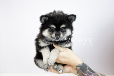 puppy116 week7 BowTiePomsky.com Bowtie Pomsky Puppy For Sale Husky Pomeranian Mini Dog Spokane WA Breeder Blue Eyes Pomskies Celebrity Puppy web6