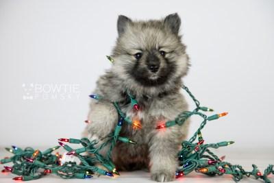 puppy117 week5 BowTiePomsky.com Bowtie Pomsky Puppy For Sale Husky Pomeranian Mini Dog Spokane WA Breeder Blue Eyes Pomskies Celebrity Puppy web2