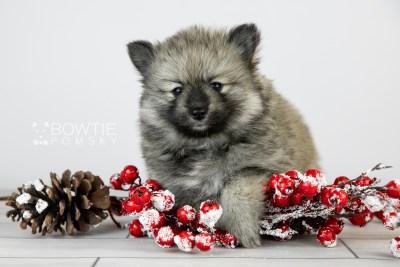 puppy117 week5 BowTiePomsky.com Bowtie Pomsky Puppy For Sale Husky Pomeranian Mini Dog Spokane WA Breeder Blue Eyes Pomskies Celebrity Puppy web3