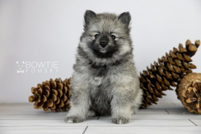 puppy117 week5 BowTiePomsky.com Bowtie Pomsky Puppy For Sale Husky Pomeranian Mini Dog Spokane WA Breeder Blue Eyes Pomskies Celebrity Puppy web4