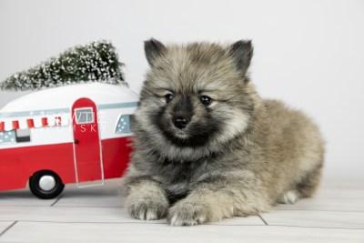 puppy117 week5 BowTiePomsky.com Bowtie Pomsky Puppy For Sale Husky Pomeranian Mini Dog Spokane WA Breeder Blue Eyes Pomskies Celebrity Puppy web5