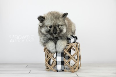 puppy117 week5 BowTiePomsky.com Bowtie Pomsky Puppy For Sale Husky Pomeranian Mini Dog Spokane WA Breeder Blue Eyes Pomskies Celebrity Puppy web6