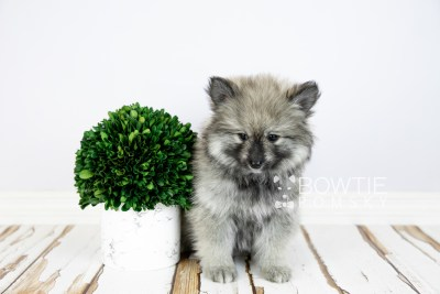 puppy117 week7 BowTiePomsky.com Bowtie Pomsky Puppy For Sale Husky Pomeranian Mini Dog Spokane WA Breeder Blue Eyes Pomskies Celebrity Puppy web4