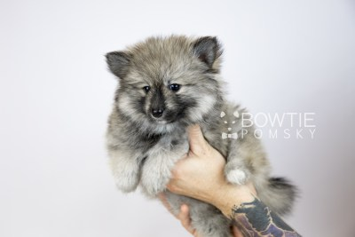 puppy117 week7 BowTiePomsky.com Bowtie Pomsky Puppy For Sale Husky Pomeranian Mini Dog Spokane WA Breeder Blue Eyes Pomskies Celebrity Puppy web6