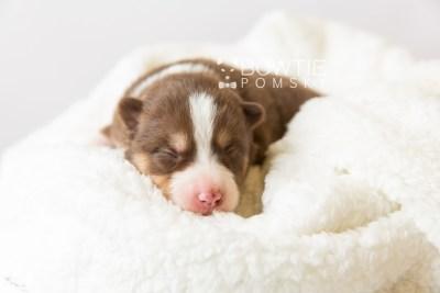 puppy118 week1 BowTiePomsky.com Bowtie Pomsky Puppy For Sale Husky Pomeranian Mini Dog Spokane WA Breeder Blue Eyes Pomskies Celebrity Puppy web2