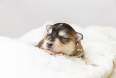 puppy119 week1 BowTiePomsky.com Bowtie Pomsky Puppy For Sale Husky Pomeranian Mini Dog Spokane WA Breeder Blue Eyes Pomskies Celebrity Puppy web2