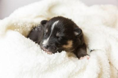 puppy120 week1 BowTiePomsky.com Bowtie Pomsky Puppy For Sale Husky Pomeranian Mini Dog Spokane WA Breeder Blue Eyes Pomskies Celebrity Puppy web2