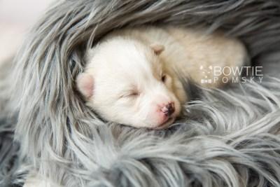 puppy122 week1 BowTiePomsky.com Bowtie Pomsky Puppy For Sale Husky Pomeranian Mini Dog Spokane WA Breeder Blue Eyes Pomskies Celebrity Puppy web2