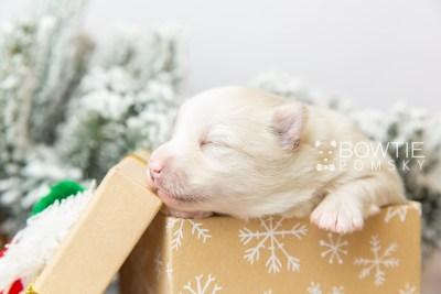 puppy123 week1 BowTiePomsky.com Bowtie Pomsky Puppy For Sale Husky Pomeranian Mini Dog Spokane WA Breeder Blue Eyes Pomskies Celebrity Puppy web1