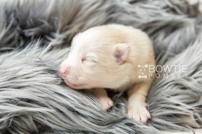 puppy123 week1 BowTiePomsky.com Bowtie Pomsky Puppy For Sale Husky Pomeranian Mini Dog Spokane WA Breeder Blue Eyes Pomskies Celebrity Puppy web2