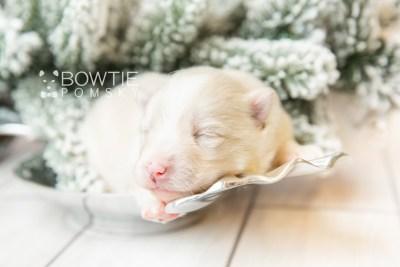 puppy123 week1 BowTiePomsky.com Bowtie Pomsky Puppy For Sale Husky Pomeranian Mini Dog Spokane WA Breeder Blue Eyes Pomskies Celebrity Puppy web6