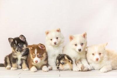puppy118-123 week7 BowTiePomsky.com Bowtie Pomsky Puppy For Sale Husky Pomeranian Mini Dog Spokane WA Breeder Blue Eyes Pomskies Celebrity Puppy web3