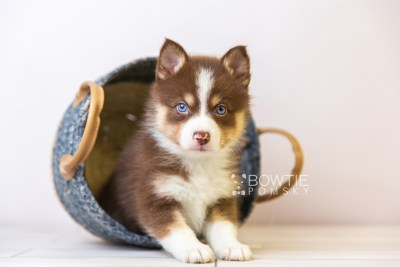 puppy118 week5 BowTiePomsky.com Bowtie Pomsky Puppy For Sale Husky Pomeranian Mini Dog Spokane WA Breeder Blue Eyes Pomskies Celebrity Puppy web2