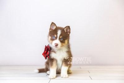 puppy118 week5 BowTiePomsky.com Bowtie Pomsky Puppy For Sale Husky Pomeranian Mini Dog Spokane WA Breeder Blue Eyes Pomskies Celebrity Puppy web3