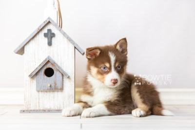 puppy118 week7 BowTiePomsky.com Bowtie Pomsky Puppy For Sale Husky Pomeranian Mini Dog Spokane WA Breeder Blue Eyes Pomskies Celebrity Puppy web1