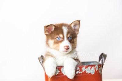 puppy118 week7 BowTiePomsky.com Bowtie Pomsky Puppy For Sale Husky Pomeranian Mini Dog Spokane WA Breeder Blue Eyes Pomskies Celebrity Puppy web3