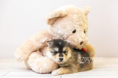 puppy119 week3 BowTiePomsky.com Bowtie Pomsky Puppy For Sale Husky Pomeranian Mini Dog Spokane WA Breeder Blue Eyes Pomskies Celebrity Puppy web-size web5