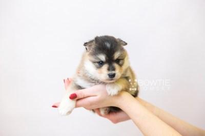 puppy119 week3 BowTiePomsky.com Bowtie Pomsky Puppy For Sale Husky Pomeranian Mini Dog Spokane WA Breeder Blue Eyes Pomskies Celebrity Puppy web-size web6