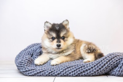 puppy119 week5 BowTiePomsky.com Bowtie Pomsky Puppy For Sale Husky Pomeranian Mini Dog Spokane WA Breeder Blue Eyes Pomskies Celebrity Puppy web2