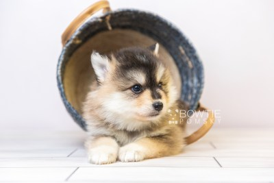 puppy119 week5 BowTiePomsky.com Bowtie Pomsky Puppy For Sale Husky Pomeranian Mini Dog Spokane WA Breeder Blue Eyes Pomskies Celebrity Puppy web3