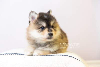 puppy119 week5 BowTiePomsky.com Bowtie Pomsky Puppy For Sale Husky Pomeranian Mini Dog Spokane WA Breeder Blue Eyes Pomskies Celebrity Puppy web6