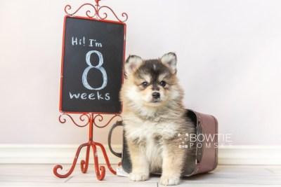 puppy119 week7 BowTiePomsky.com Bowtie Pomsky Puppy For Sale Husky Pomeranian Mini Dog Spokane WA Breeder Blue Eyes Pomskies Celebrity Puppy web3