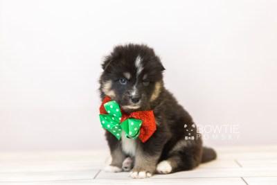 puppy120 week3 BowTiePomsky.com Bowtie Pomsky Puppy For Sale Husky Pomeranian Mini Dog Spokane WA Breeder Blue Eyes Pomskies Celebrity Puppy web-size web4