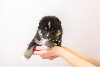 puppy120 week3 BowTiePomsky.com Bowtie Pomsky Puppy For Sale Husky Pomeranian Mini Dog Spokane WA Breeder Blue Eyes Pomskies Celebrity Puppy web-size web6