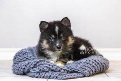 puppy120 week5 BowTiePomsky.com Bowtie Pomsky Puppy For Sale Husky Pomeranian Mini Dog Spokane WA Breeder Blue Eyes Pomskies Celebrity Puppy web1