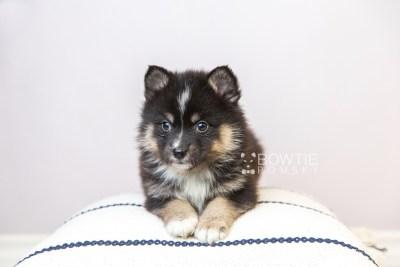 puppy120 week5 BowTiePomsky.com Bowtie Pomsky Puppy For Sale Husky Pomeranian Mini Dog Spokane WA Breeder Blue Eyes Pomskies Celebrity Puppy web5