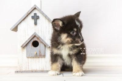 puppy120 week7 BowTiePomsky.com Bowtie Pomsky Puppy For Sale Husky Pomeranian Mini Dog Spokane WA Breeder Blue Eyes Pomskies Celebrity Puppy web1