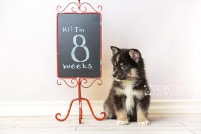 puppy120 week7 BowTiePomsky.com Bowtie Pomsky Puppy For Sale Husky Pomeranian Mini Dog Spokane WA Breeder Blue Eyes Pomskies Celebrity Puppy web2