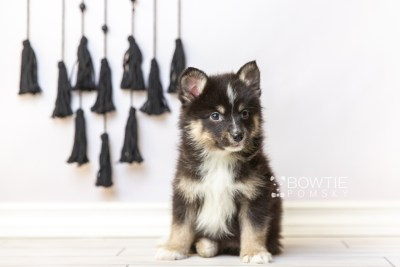 puppy120 week7 BowTiePomsky.com Bowtie Pomsky Puppy For Sale Husky Pomeranian Mini Dog Spokane WA Breeder Blue Eyes Pomskies Celebrity Puppy web4