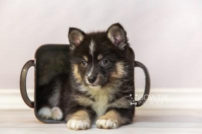 puppy120 week7 BowTiePomsky.com Bowtie Pomsky Puppy For Sale Husky Pomeranian Mini Dog Spokane WA Breeder Blue Eyes Pomskies Celebrity Puppy web5