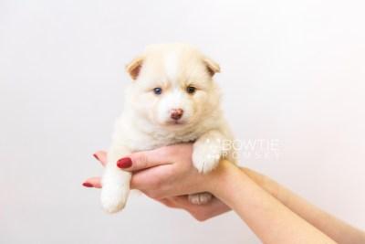 puppy121 week3 BowTiePomsky.com Bowtie Pomsky Puppy For Sale Husky Pomeranian Mini Dog Spokane WA Breeder Blue Eyes Pomskies Celebrity Puppy web-size web6