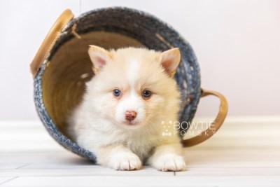 puppy121 week5 BowTiePomsky.com Bowtie Pomsky Puppy For Sale Husky Pomeranian Mini Dog Spokane WA Breeder Blue Eyes Pomskies Celebrity Puppy web2