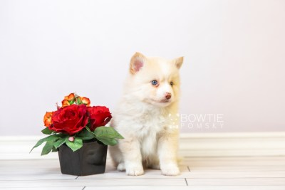 puppy121 week5 BowTiePomsky.com Bowtie Pomsky Puppy For Sale Husky Pomeranian Mini Dog Spokane WA Breeder Blue Eyes Pomskies Celebrity Puppy web3