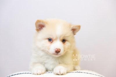 puppy121 week5 BowTiePomsky.com Bowtie Pomsky Puppy For Sale Husky Pomeranian Mini Dog Spokane WA Breeder Blue Eyes Pomskies Celebrity Puppy web5