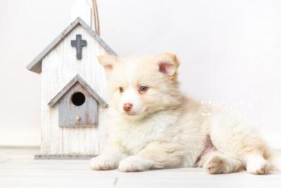 puppy121 week7 BowTiePomsky.com Bowtie Pomsky Puppy For Sale Husky Pomeranian Mini Dog Spokane WA Breeder Blue Eyes Pomskies Celebrity Puppy web1