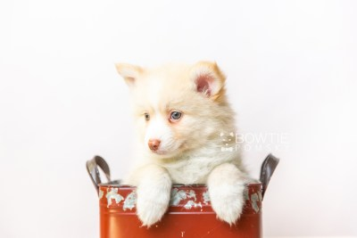 puppy121 week7 BowTiePomsky.com Bowtie Pomsky Puppy For Sale Husky Pomeranian Mini Dog Spokane WA Breeder Blue Eyes Pomskies Celebrity Puppy web5