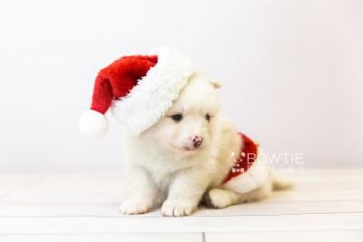 puppy122 week3 BowTiePomsky.com Bowtie Pomsky Puppy For Sale Husky Pomeranian Mini Dog Spokane WA Breeder Blue Eyes Pomskies Celebrity Puppy web-size web1