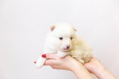 puppy122 week3 BowTiePomsky.com Bowtie Pomsky Puppy For Sale Husky Pomeranian Mini Dog Spokane WA Breeder Blue Eyes Pomskies Celebrity Puppy web-size web6